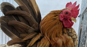 Where to buy Serama bantams and how much to pay for them.